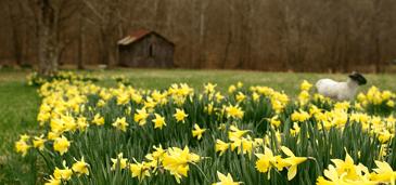 Barn_daffodils-2